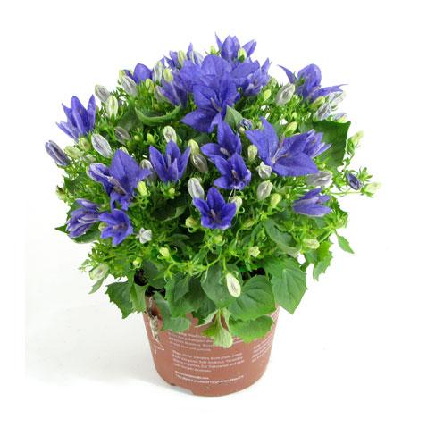 Комнатное растение хоста
